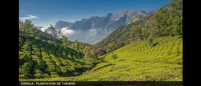 Inde Kerala-plantation-de-théiers-700x300